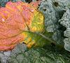 L'automne du chou