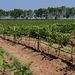 The grapes for the Chateau de Loei