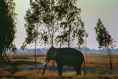 Working elephant rests near the paddy field