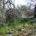 Desert Lily Sanctuary (3599)
