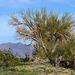 Desert Lily Sanctuary (3642)