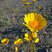 Desert Lily Sanctuary - Desert Sunflower (3668)