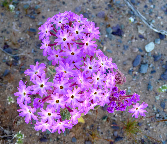 Desert Lily Sanctuary - Verbena (3600)
