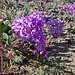 Desert Lily Sanctuary - Verbena (3601)