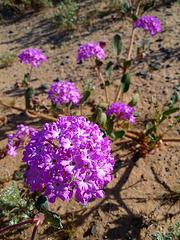 Desert Lily Sanctuary - Purple (3645)