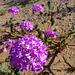Desert Lily Sanctuary - Verbena (3645)