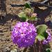 Desert Lily Sanctuary - Verbena (3650)