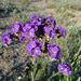 Desert Lily Sanctuary - Phacelia crenulata (3666)