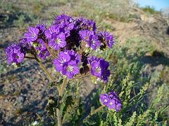 Desert Lily Sanctuary - Purple (3667)