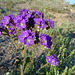 Desert Lily Sanctuary - Phacelia crenulata (3667)