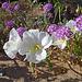 Desert Lily Sanctuary - White Dune Primrose & Verbena (3605)