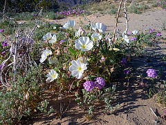 Desert Lily Sanctuary - White Dune Primrose & Verbena (3640)