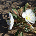 Desert Lily Sanctuary - White Dune Primrose (3602)