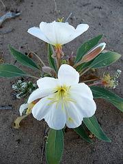 Desert Lily Sanctuary - White (3603)