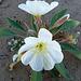 Desert Lily Sanctuary - White Dune Primrose (3603)