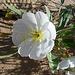 Desert Lily Sanctuary - White Dune Primrose (3604)