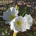 Desert Lily Sanctuary - White Dune Primrose (3606)