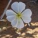 Desert Lily Sanctuary - White Dune Primrose (3622)