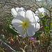 Desert Lily Sanctuary - White Dune Primrose (3641)