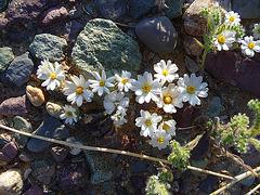 Desert Lily Sanctuary - White (3663)