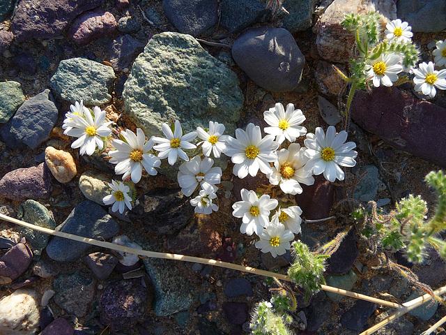 Desert Lily Sanctuary - Desert Star (3663)