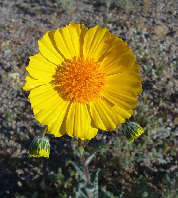 Desert Lily Sanctuary - Desert Sunflower (3598)
