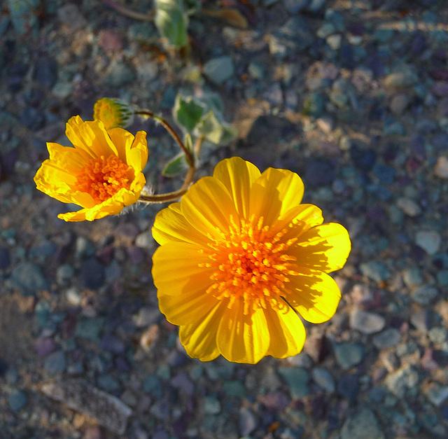 Desert Lily Sanctuary - Yellow (3669)