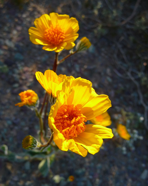 Desert Lily Sanctuary - Yellow (3670)