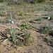 Desert Lilies (3621)