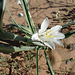 Desert Lily (3610)