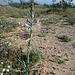 Desert Lily (3613)
