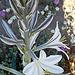 Desert Lily (3616)