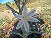 Desert Lily (3617)