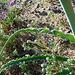 Desert Lily (3627)