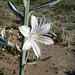 Desert Lily (3632)