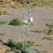 Desert Lily (3636)