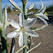 Desert Lily (3638)