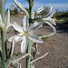 Desert Lily (3639)