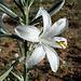 Desert Lily (3643)