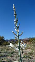Desert Lily (3648)