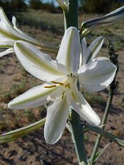 Desert Lily (3649)