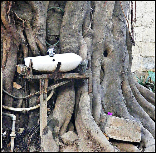 Basin in the banyan