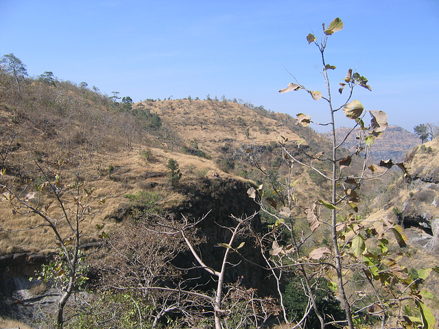 young tree in the Deccan