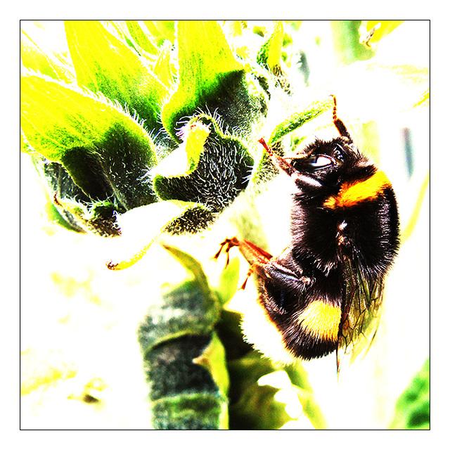 Hummel – Bumblebee