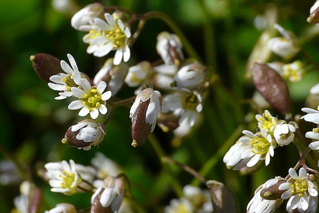 Whit-low Grass -Erophila verna