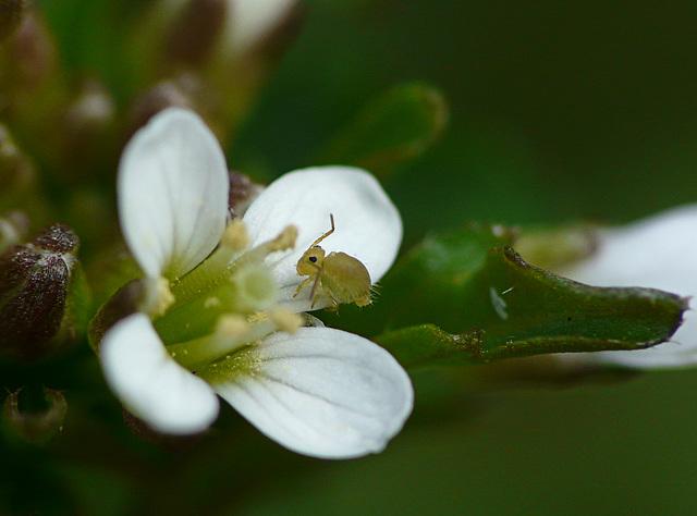 Wavy Bittercress & Springtail