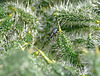 Clover Weevil