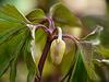 Wood  Anemones - Bud
