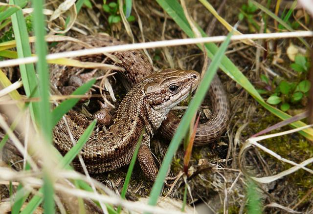Common Lizard -Face
