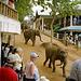 En Pinnawela troviĝas tutmonda unikaĵo, t.n. elefant-orfejo